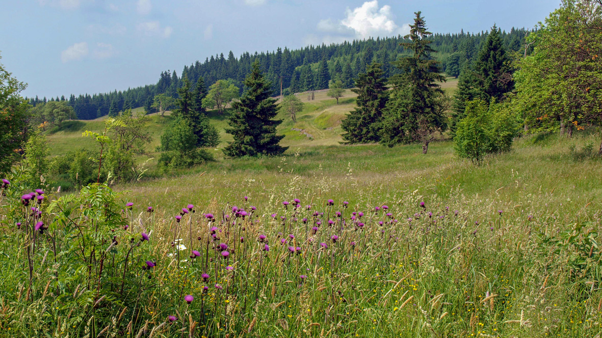 Erzgebirgswiese bei Horní Blatná (Bergstadt Platten). Foto: Chris Bergau